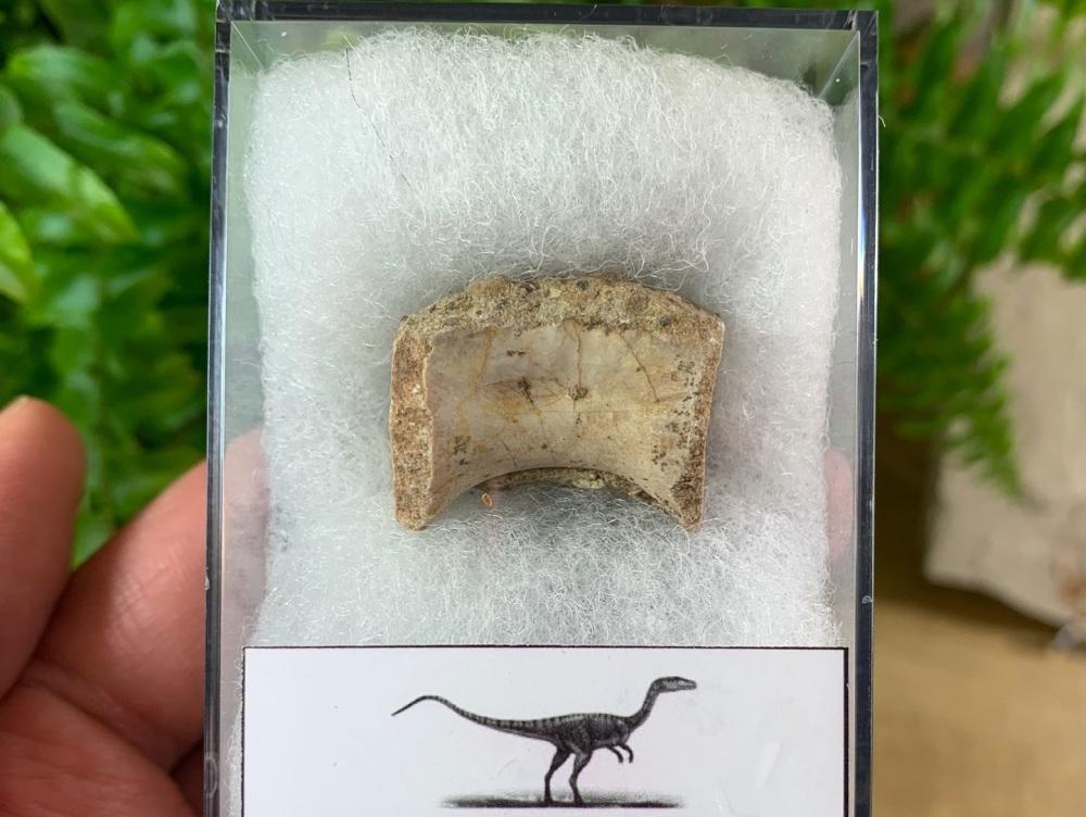 Coelophysis Early Dinosaur Vertebra #03