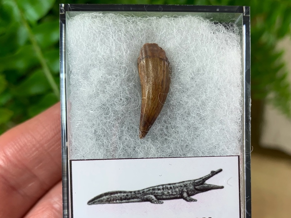 Koskinonodon Amphibian Tooth, New Mexico (Triassic)