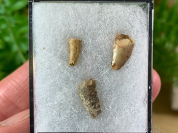 Set of Reptile Teeth (Late Triassic, New Mexico)