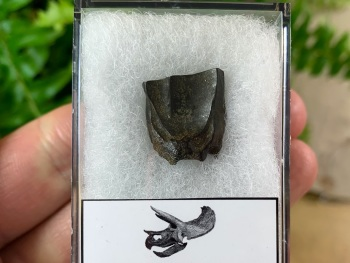 Quality Triceratops Tooth #04