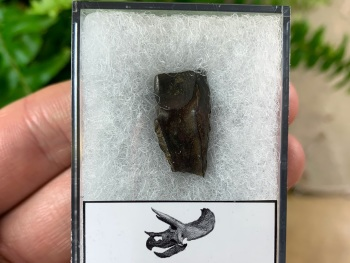Quality Triceratops Tooth #05