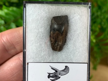 Quality Triceratops Tooth #06