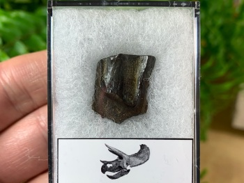 Quality Triceratops Tooth #08