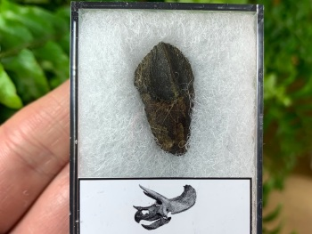 Quality Triceratops Tooth #09