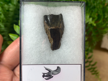 Quality Triceratops Tooth #10