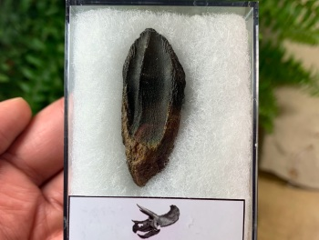 MUSEUM QUALITY Triceratops Tooth