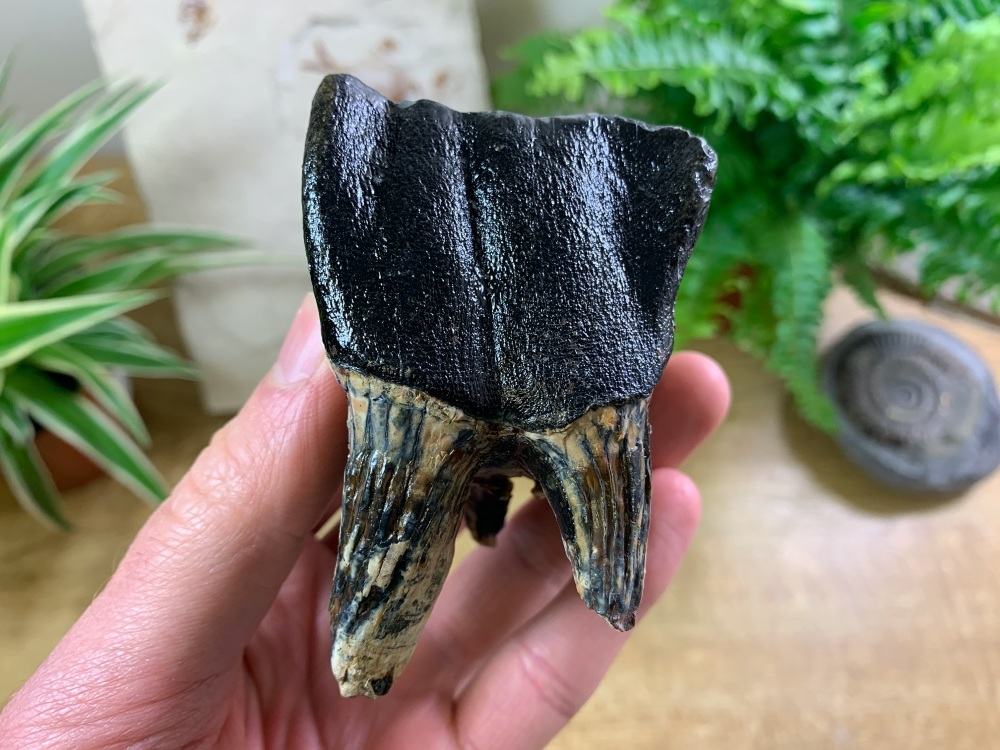 MUSEUM QUALITY Woolly Rhino Tooth #01
