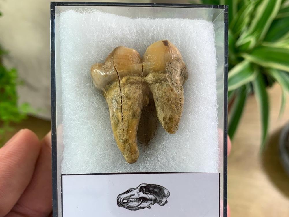 Ursus spelaeus Cave Bear Tooth (molar) #02