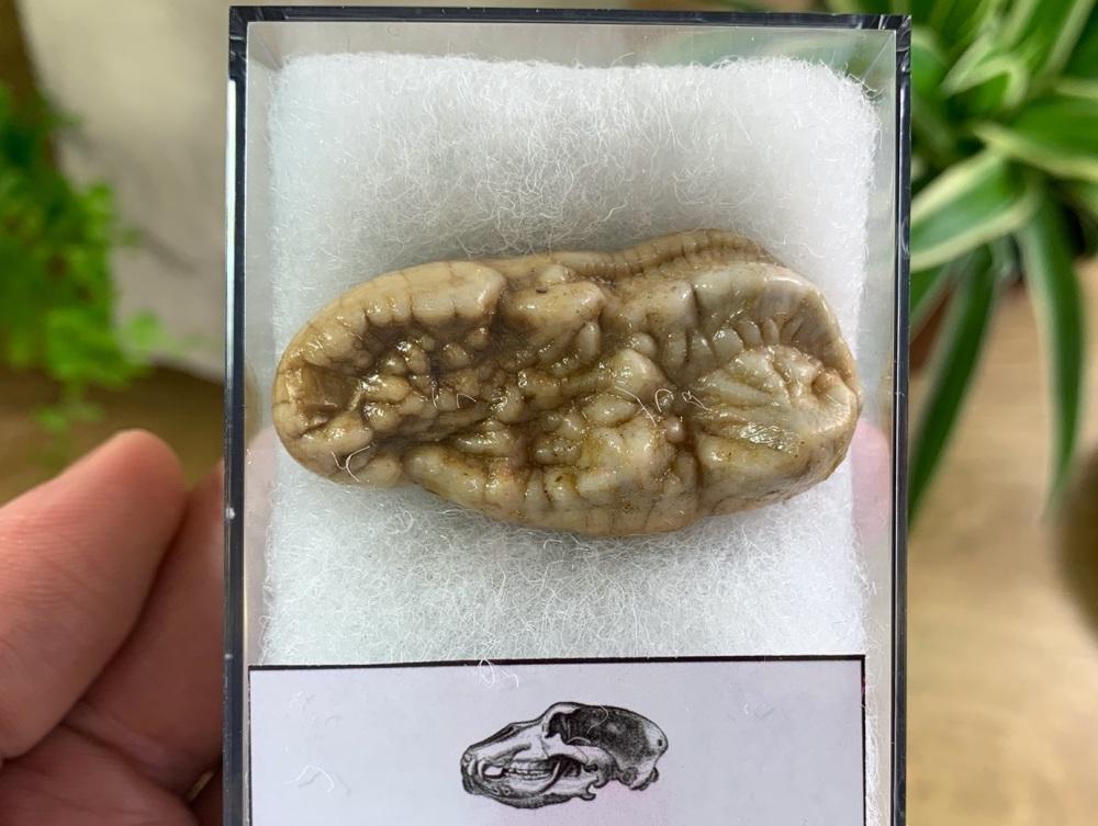 Ursus spelaeus Cave Bear Tooth (molar) #03