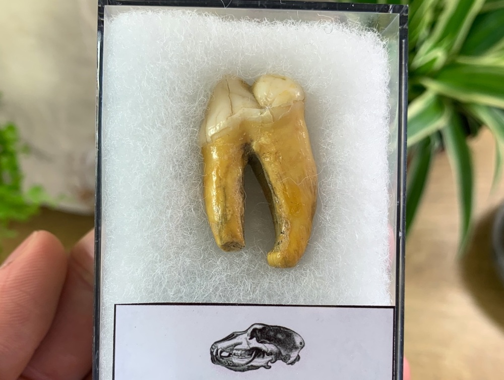Ursus spelaeus Cave Bear Tooth (molar) #05