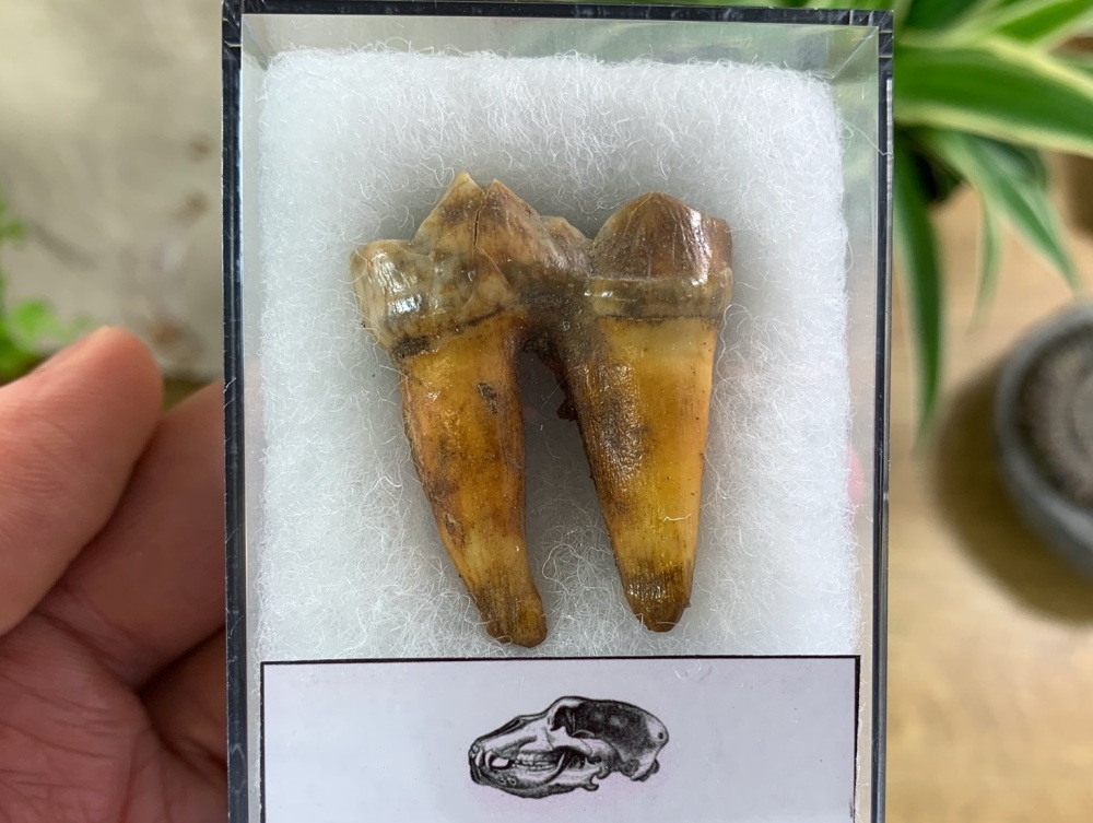 Ursus spelaeus Cave Bear Tooth (molar) #06