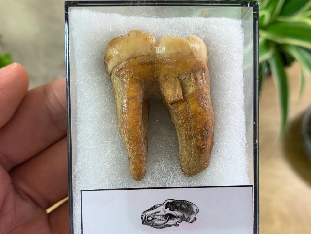 Ursus spelaeus Cave Bear Tooth (molar) #08