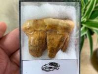 Ursus spelaeus Cave Bear Tooth (molar) #09