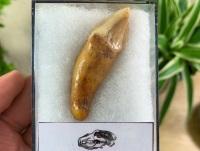 Ursus spelaeus Cave Bear Tooth (incisor) #10