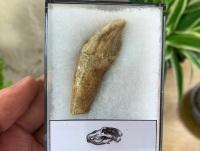 Ursus spelaeus Cave Bear Tooth (incisor) #11