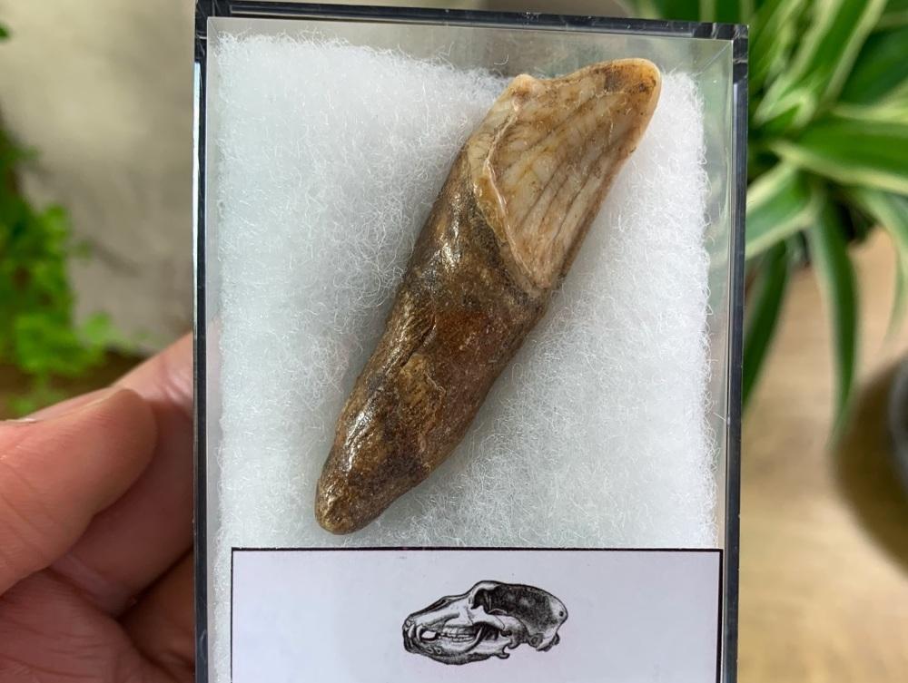 Ursus spelaeus Cave Bear Tooth (incisor) #12