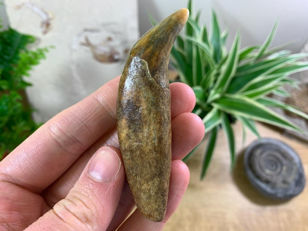 Ursus spelaeus Cave Bear Canine (3.25 inch) #01
