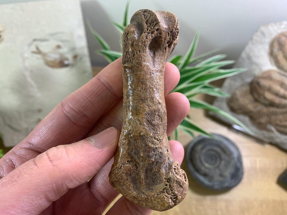 Cave Bear Metacarpal (finger/toe bone) #01