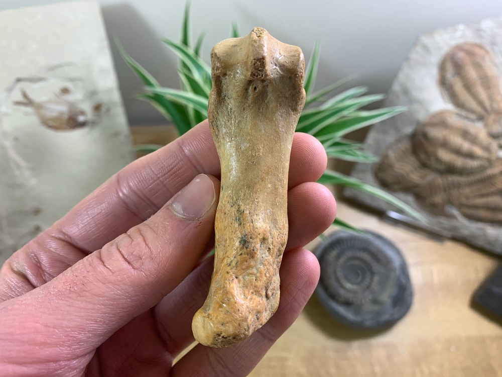 Cave Bear Metacarpal (finger/toe bone) #05