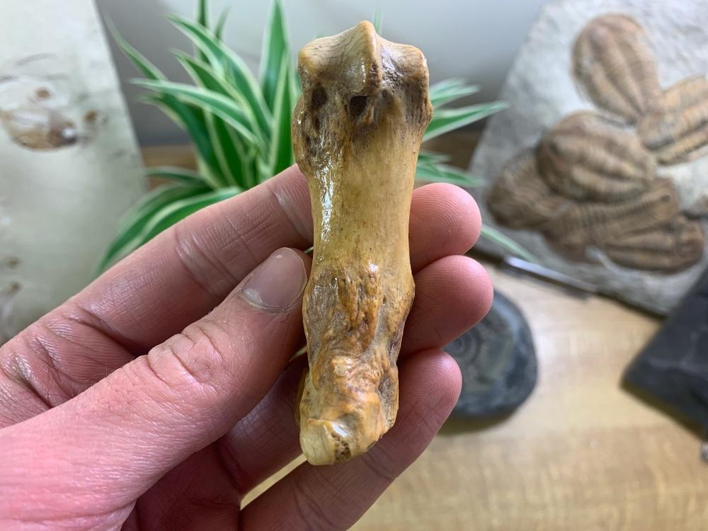 Cave Bear Metacarpal (finger/toe bone) #06