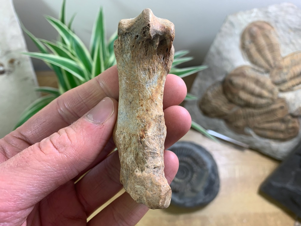 Cave Bear Metacarpal (finger/toe bone) #07