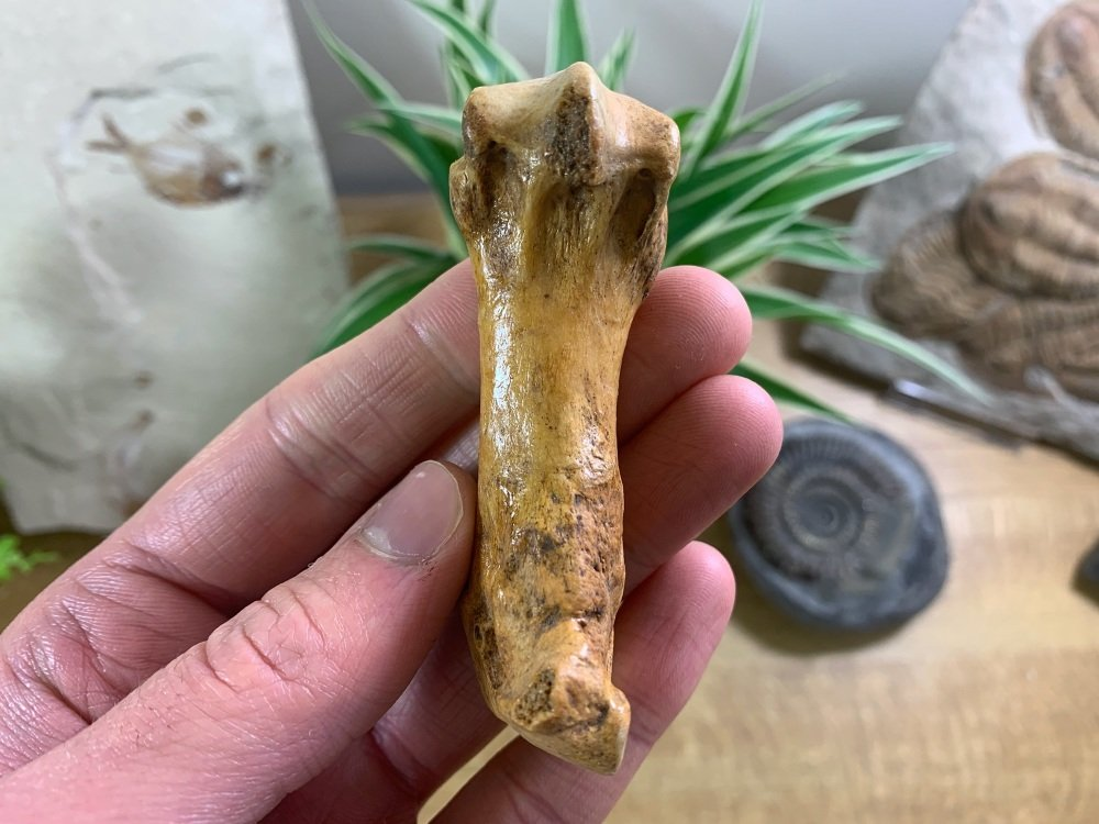 Cave Bear Metacarpal (finger/toe bone) #08