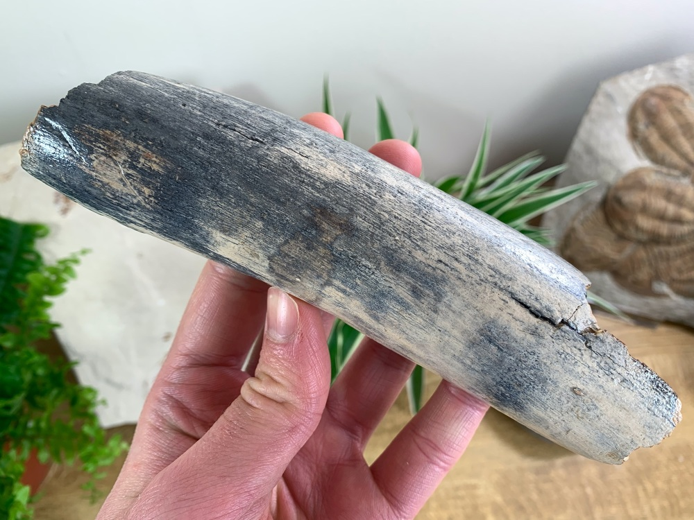 Woolly Mammoth Tusk, Germany (6 inches) #04
