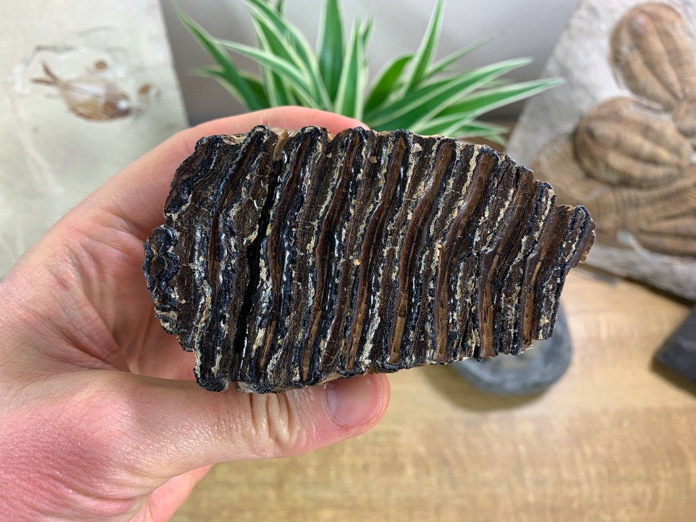 Baby Woolly Mammoth Tooth #01