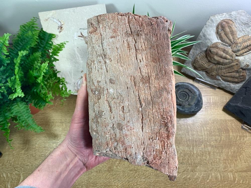HUGE Dinosaur Limb Bone, Kem Kem #01