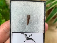 Pterosaur Tooth, Morocco #04
