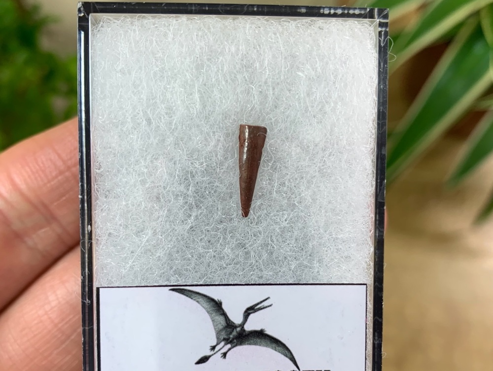 Pterosaur Tooth, Morocco #07