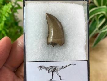 Daspletosaurus/Gorgosaurus Tooth (Judith River Fm.) #02