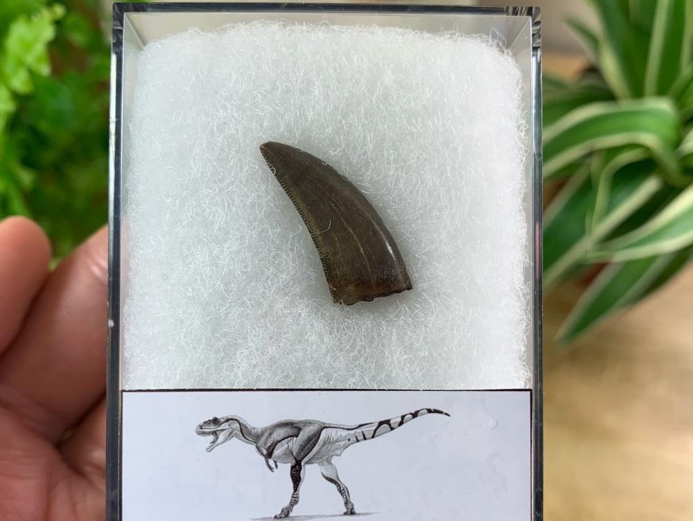 Daspletosaurus/Gorgosaurus Tooth (Judith River Fm.) #09