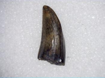 Saurornitholestes Dromaeosaur Tooth (Judith River Fm.) #04