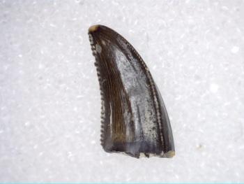 Saurornitholestes Dromaeosaur Tooth (Judith River Fm.) #10