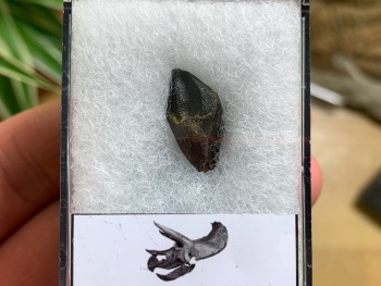 Quality Triceratops Tooth #01