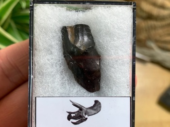 Quality Triceratops Tooth #02