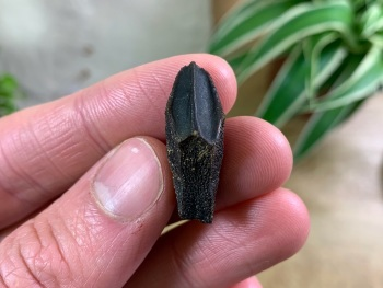 Rooted Edmontosaurus Tooth