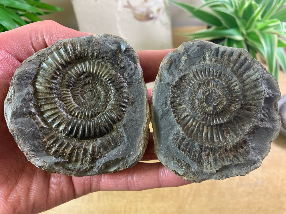 Dactylioceras commune Ammonite - 7cm #01
