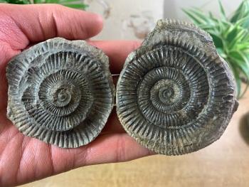 Dactylioceras commune Ammonite - 7.6cm #02