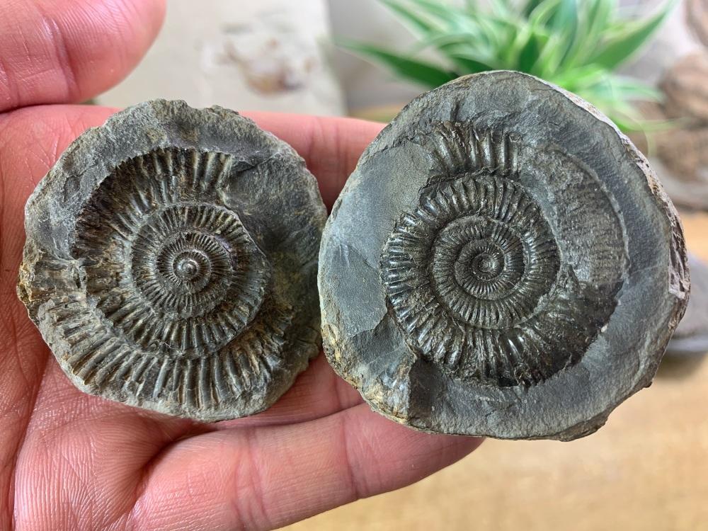 Dactylioceras commune Ammonite - 4cm #03