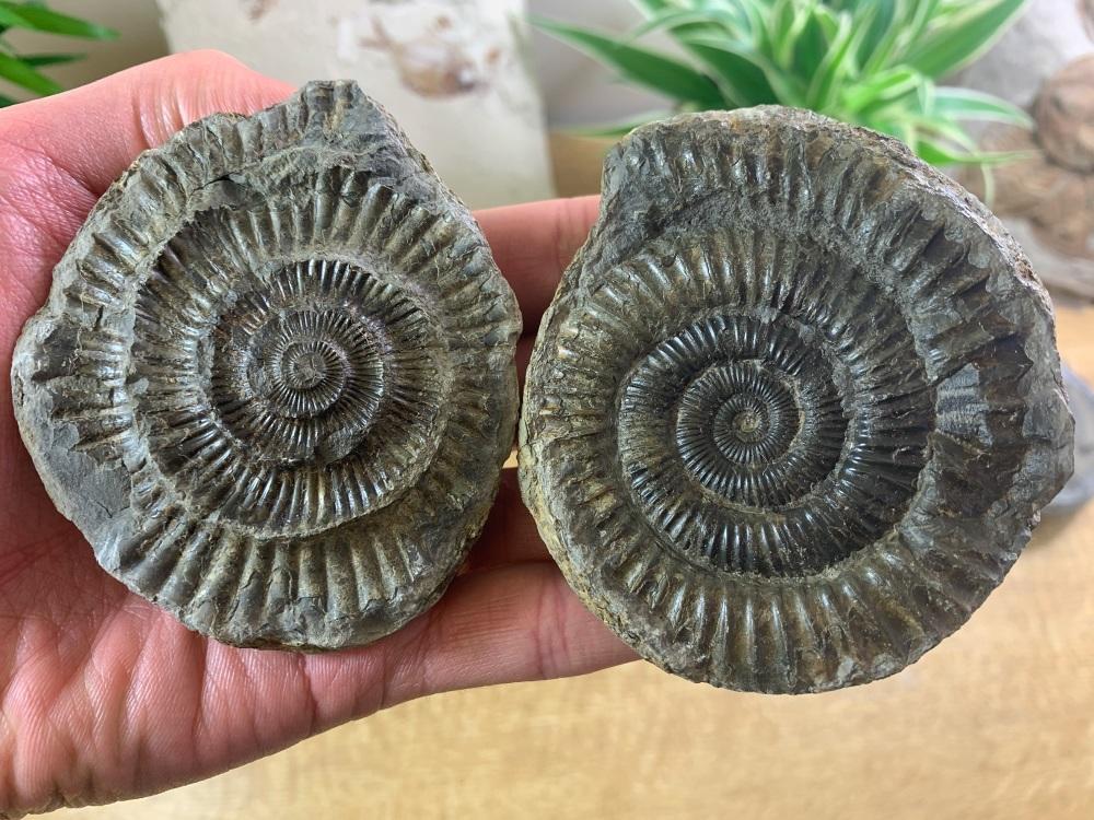 Dactylioceras commune Ammonite - 8.1cm #04