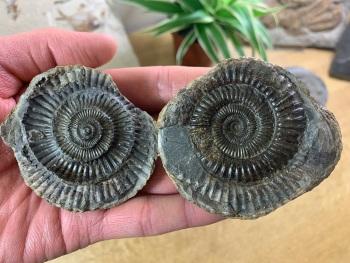 Dactylioceras commune Ammonite - 6cm #05