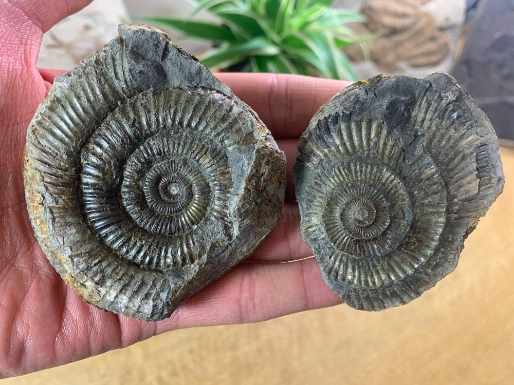 Dactylioceras commune Ammonite - 7.2cm #06