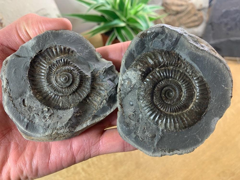 Dactylioceras commune Ammonite - 5.2cm #07