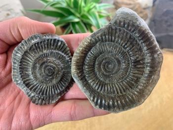 Dactylioceras commune Ammonite - 6.8cm #08