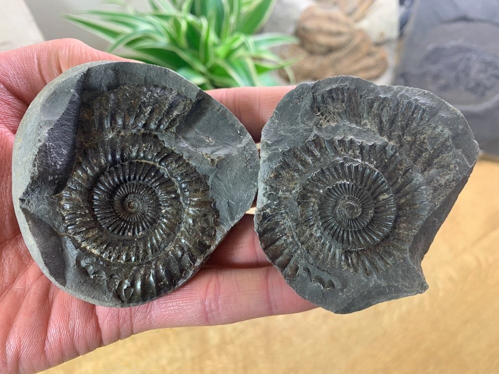 Dactylioceras commune Ammonite - 6.4cm #09