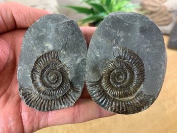 Dactylioceras commune Ammonite - 4cm #10