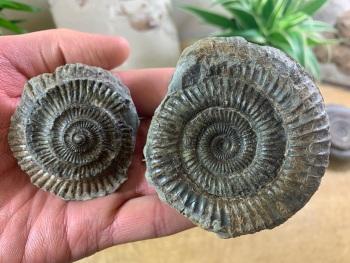 Dactylioceras commune Ammonite - 6.9cm #11