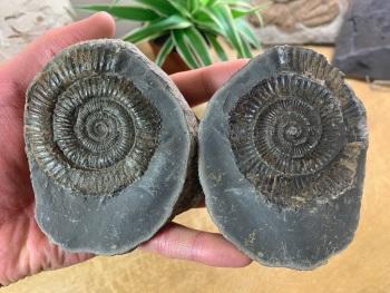 Dactylioceras commune Ammonite - 6.8cm #12